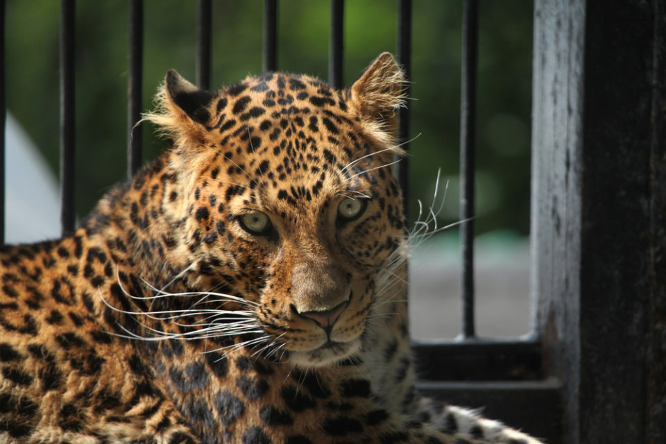 северокитайский леопард