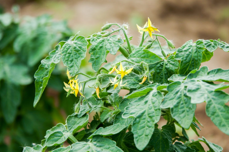 flowers-tomatoes